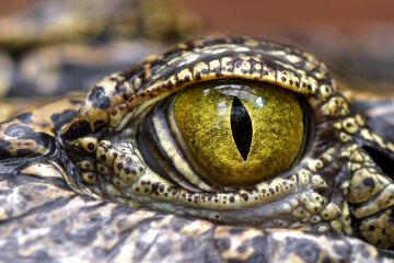 крокодил, глаз, рептилия