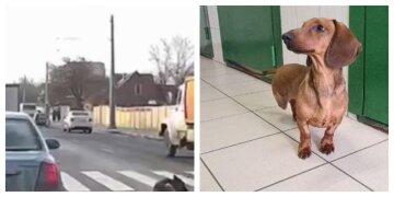 Такса потрапила під колеса авто і господар відмовився від неї: харків'ян просять допомогти собаці