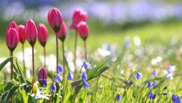весна цветы тюльпаны поле
