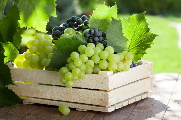 Vine and bunch of white grapes