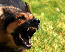 злая собака, пес