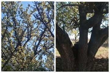 """""""Настоящий бриллиант"""": под Одессой обнаружено дерево, которому 400 лет, удивительные кадры"""