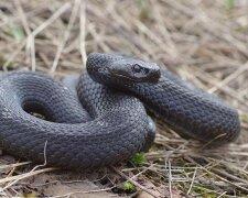 Змея-гадюка Никольского