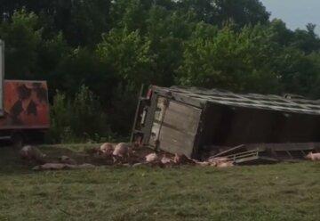 Фура везла 200 свиней: кадри масштабної аварії на Хмельниччині