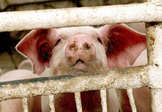 свинья свиньи