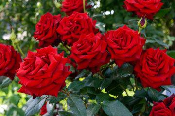 Мэрия Днепра закупила розы по 500 гривен за штуку: зачем им это нужно