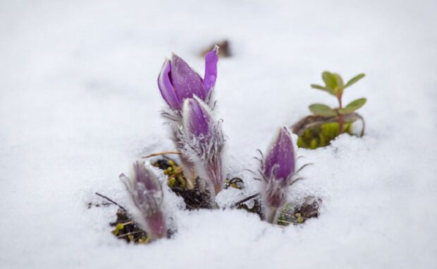 цветы, весна, погода