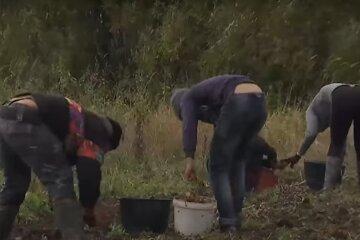 """Школярів змусили копати картоплю замість уроків, розгорівся скандал: """"Щоб не сиділи без діла"""""""