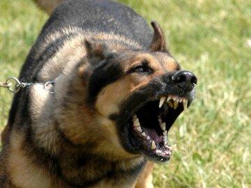 Пьяный дебошир спустил на полицейских своего бойцовского пса (видео)