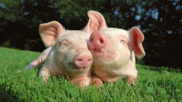 Молдова запретила украинскую свинину