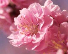 цветы, сакура