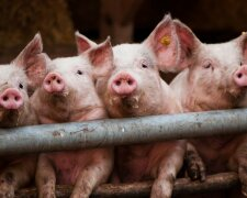 Animals___Pigs_Pigs_pose_for_the_photographer_069651_