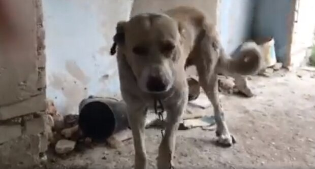 """""""Голодный и измученный"""": хозяин решил избавиться от пса нечеловеческим способом под Одессой, видео"""