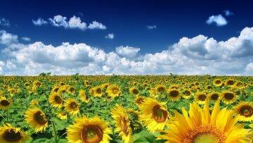 поле, подсолнухи, небо, Украина