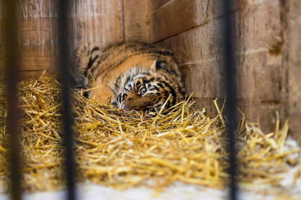 тигр, клетка