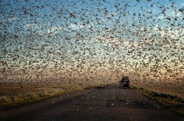 саранча насекомые рой
