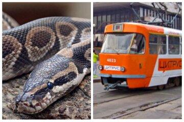 """Величезна змія в одеському трамваї ошелешила людей, фото: """"повзала по спині"""""""