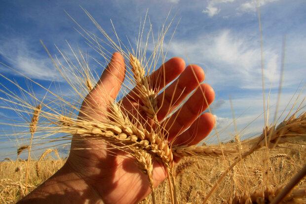 аграрии поле зерно колосок-руки