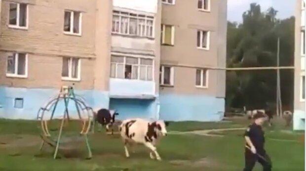 """В России коровы обратили в бегство полицейских, кадры позора: """"Когда даже скотина понимает"""""""