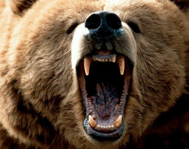 медведь, пасть, хищник
