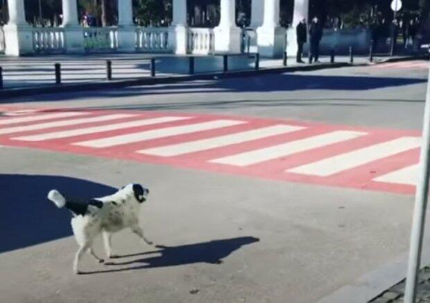 Бездомный пес стал звездой интернета, видео: каждый день переводит детей через дорогу