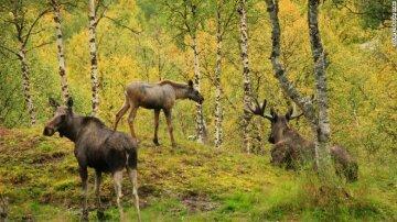 норвежский парк лоси
