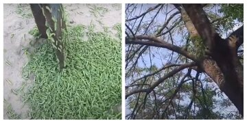 Сожрали дерево всего за ночь: жители Черкащины напуганы нашествием гусениц, видео