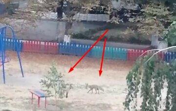 """В Харькове на детской площадке бегают хищники, видео: """"В этом районе они частые гости"""""""