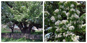 На Одесчине зацвела самая старая груша Украины: фото красавицы