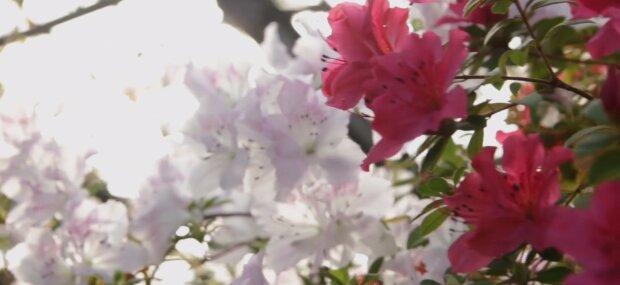 У ботсаду Кривого Рогу розпустилися рідкісні квіти: кадри неймовірного природного явища
