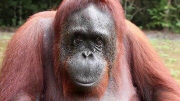 орангутанг обезьяна примат