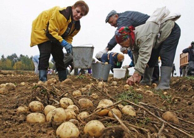 огород картошка