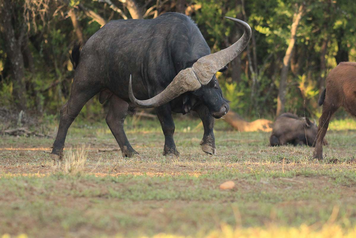 буйвол хвост фото гарвард оставил