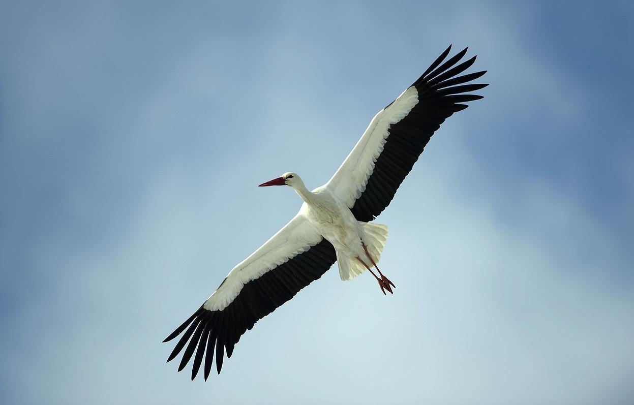 Летающий аист картинки