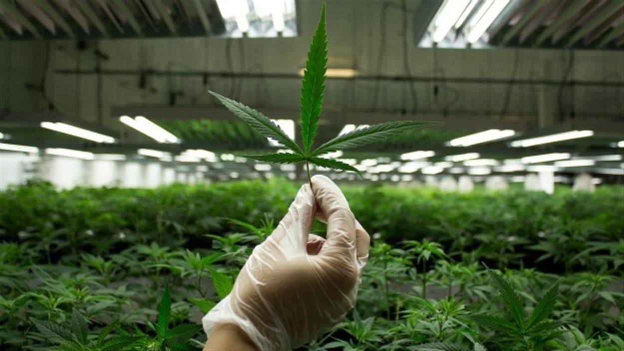 Изготовления наркотиков из марихуаны как вывести марихуану