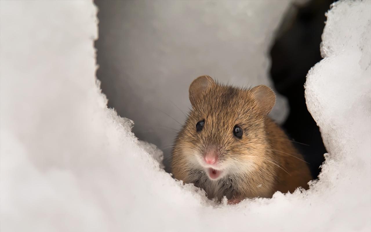 картинки мышей на снегу фото зарезавший