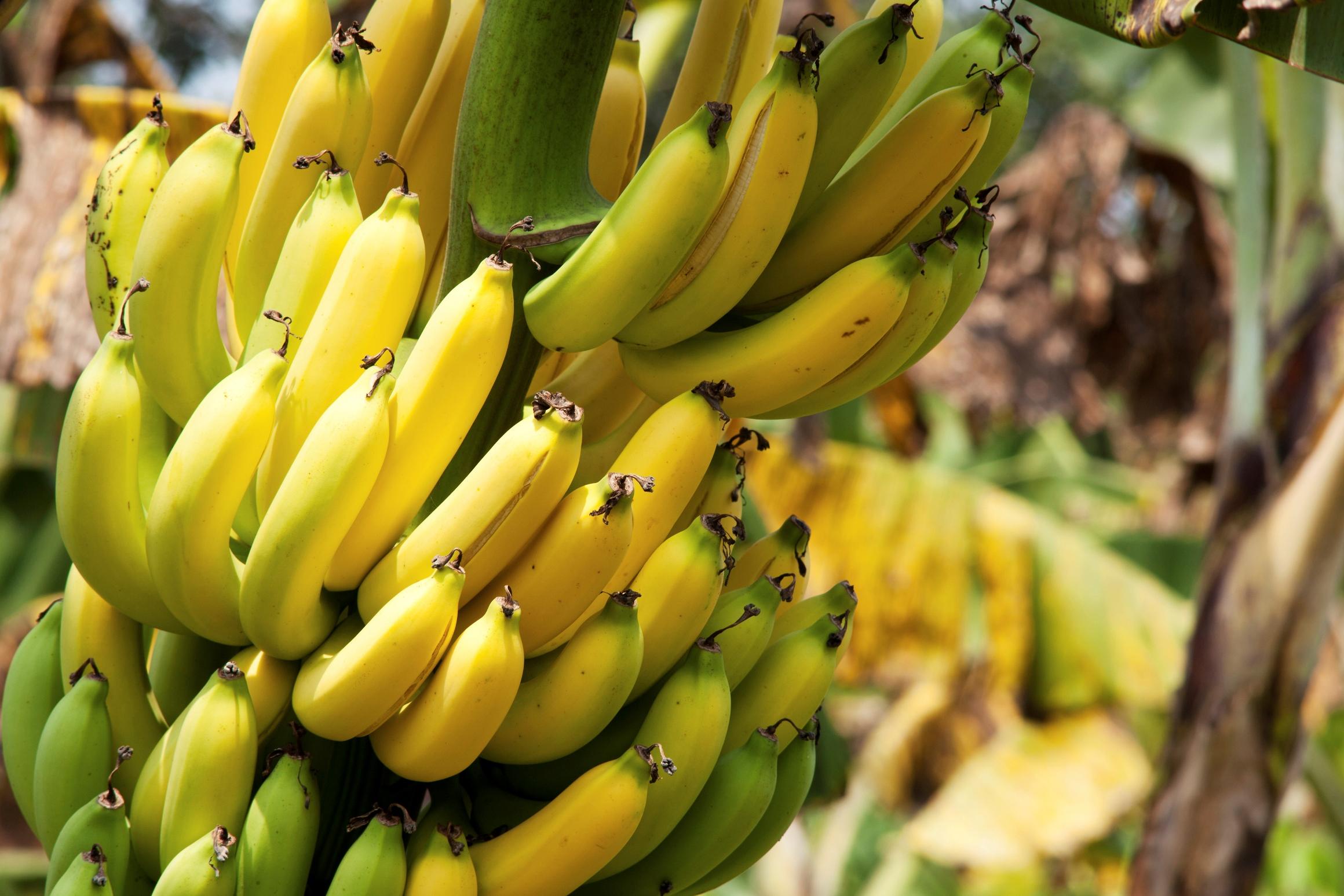 под фрукты бананы деревья фото качественной фурнитуры